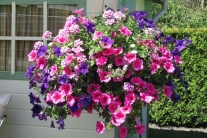 Hanging Basket mix 30 cm